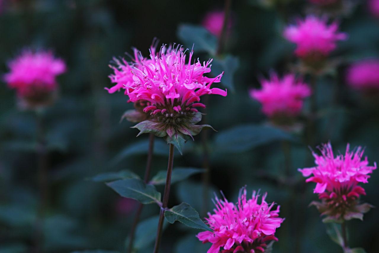 Bee Balm Plant