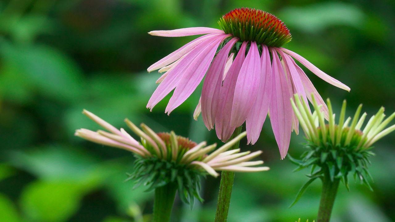 Echinacea Side Effects