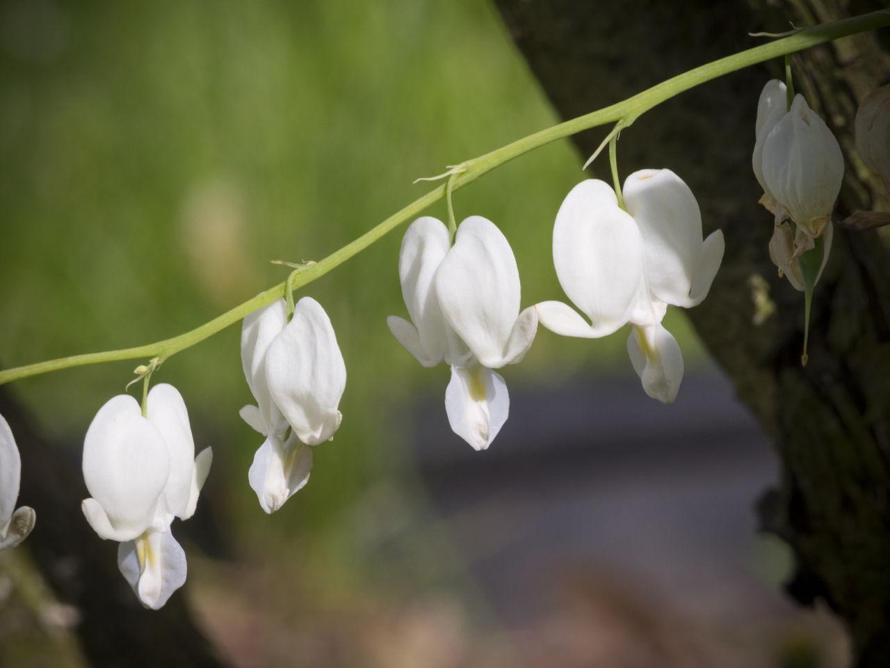 Bleeding Heart Flower In Bloom