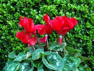 Cyclamen Flowers