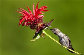 Annas Hummingbird Feeding On Bee Balm