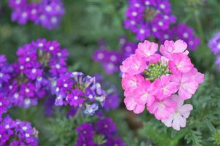 Verbena Cultivars Flowers