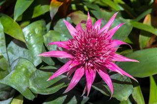 Pink Bromeliads