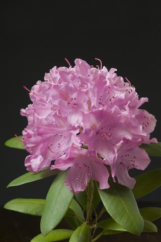Macro Rhododendron Blossom