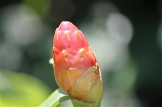 Bromeliad Bud