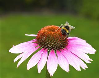 Bee On An Echinacea