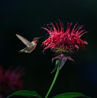 Ruby Throated Hummingbird On Bee Balm