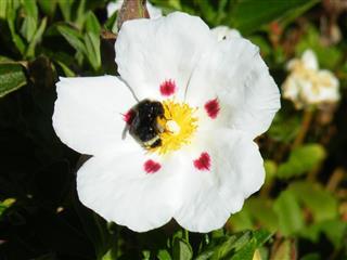 Bumblebee Inside Cistus Flower