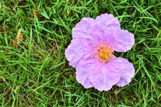 Crape Flower