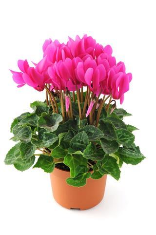 Cyclamen Flowerpot