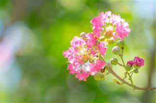 Crape Myrtle Flower