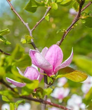 Pink Magnolia Flower Closeup