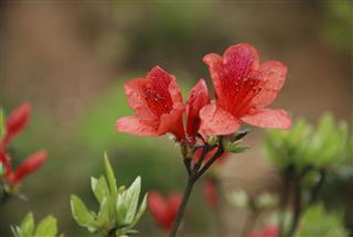 Beautiful Blooming Azalea Flowers