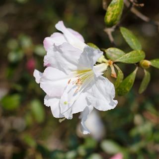 Elegant White Azalea Flowers