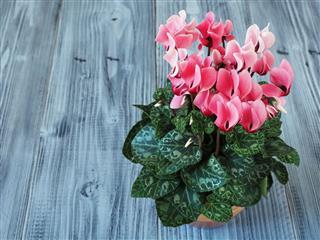 Pink Cyclamen In Flowerpot