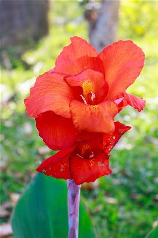 Canna Flower In The Garden