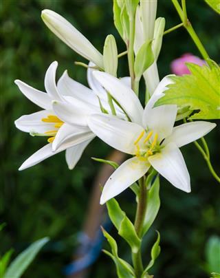 White Lilium Flower