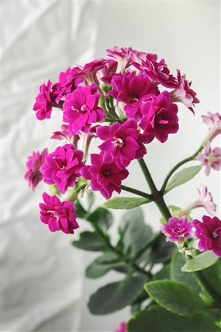 Kalanchoe Flowering In Indoor Environment