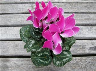 Cyclamen Persicum Flowers