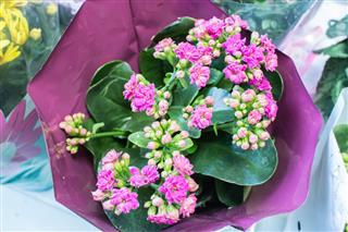 Pink Kalanchoe Blossom