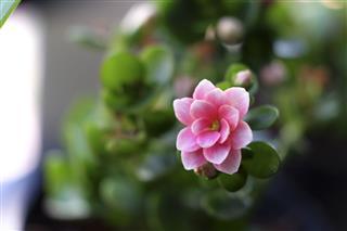 Pink Kalanchoe Blossfeldiana