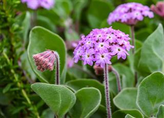Sand Verbena Flowers