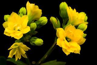 Beautiful Yellow Kalanchoe Flower