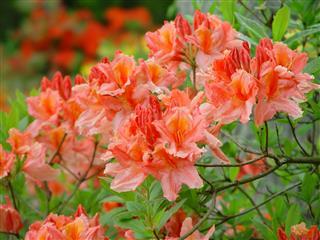 Azalea Rhododendron Mollis Hybrid