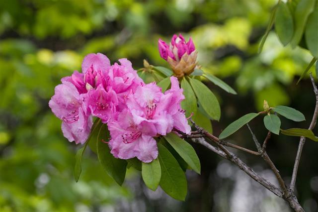 Pink Azalea Rhododendron