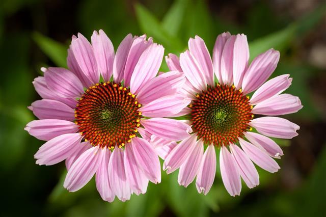 Pair Of Purple Cone Flowers