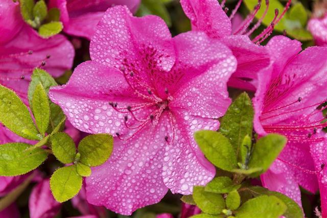 Raindrops On Azalea Flowers