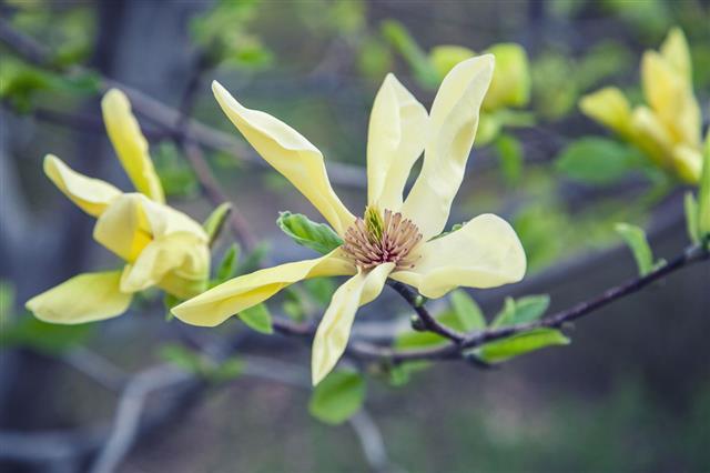 Yellow Magnolia Blossom