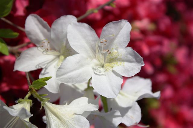 White Japanese Azalea