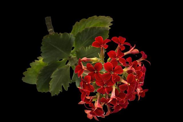 Flower Kalanchoe Tropical Succulent