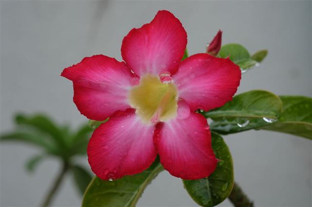 Pink Azalea Flowers