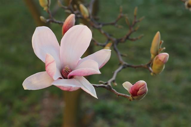 Pink Magnolia Flowers In Garden
