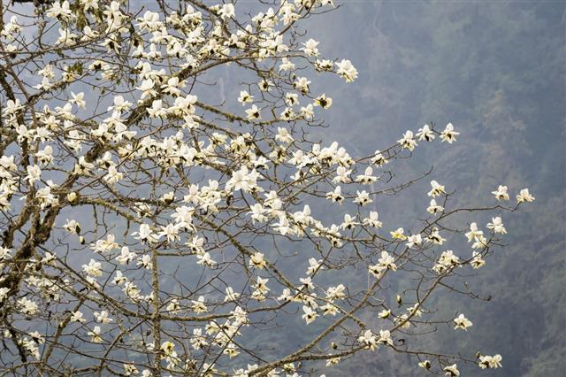 Magnolia Blossom In Bhutan