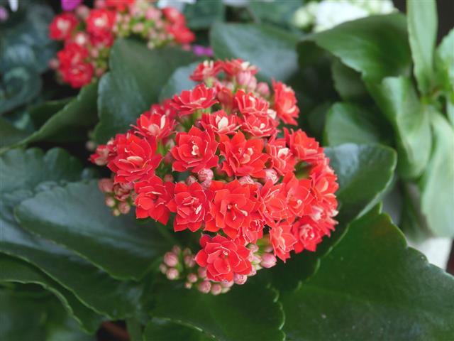 Red Kalanchoe Succulent Flowers