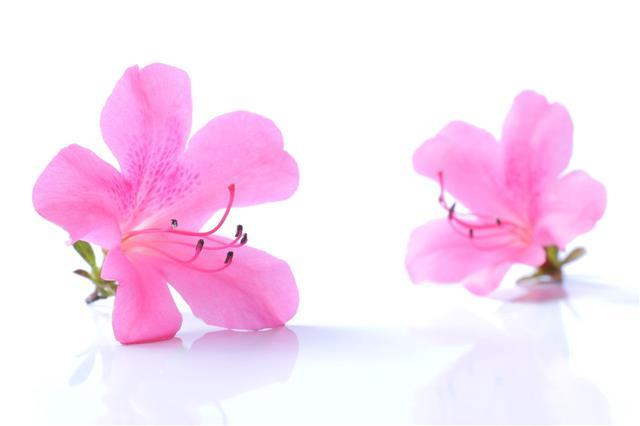 Japanese Pink Azalea Flower