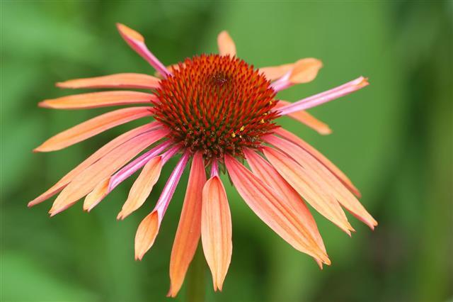 Flower Echinacea