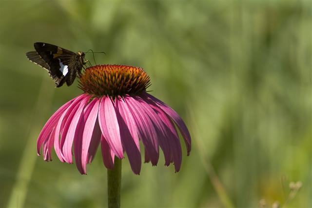 Pollinator Butterfly On Flower
