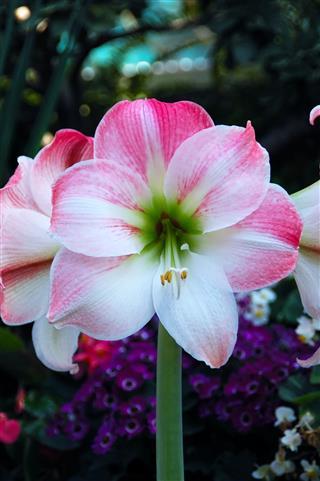 Pink Blossom Amaryllis