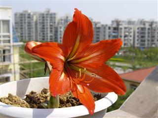 Amaryllis Hippeastrum Flower
