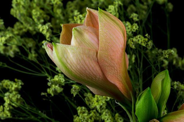 Pastel Amaryllis