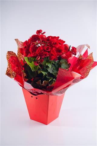 Begonia In Flowerpot