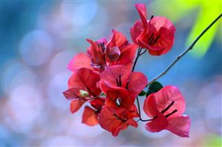 Blossoming Bougainvillea