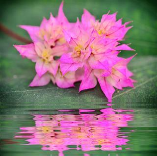 Tropical Bougainvillea Flower