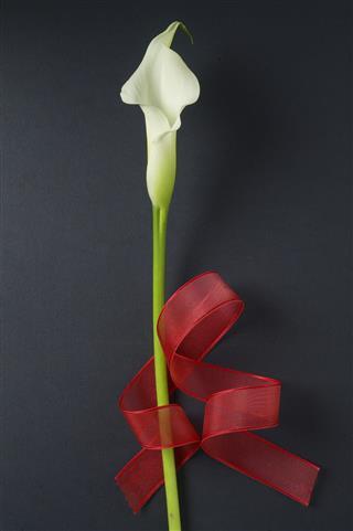 Calla Lily With Ribbon