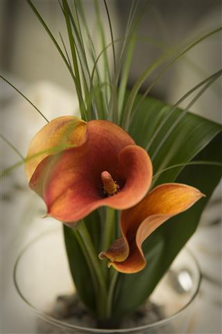 Orange Rust Callas