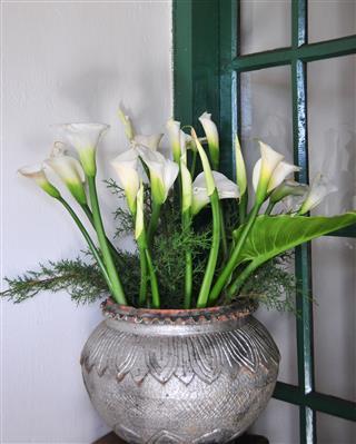 Calla Lilies In A Pot